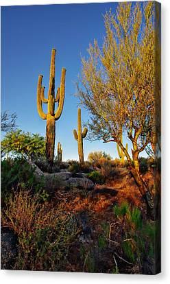 Saguaro  Canvas Print by Scott McGuire
