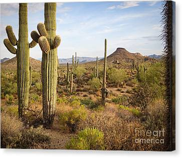 Saguaro Twins Canvas Print
