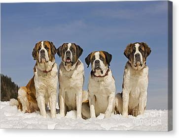 Saint Bernards Canvas Print