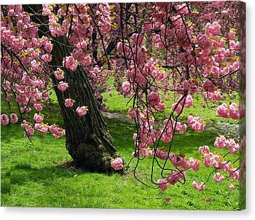 Canvas Print featuring the photograph Sakura Blossom by Yue Wang
