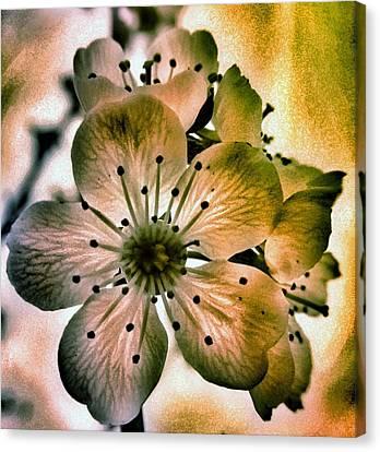 Almond Canvas Print - Sakura - Cherry Blossom by Marianna Mills
