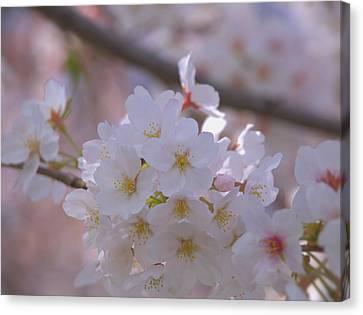 Sakura Canvas Print by Rachel Mirror