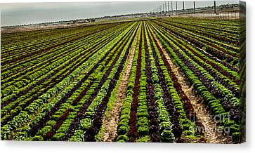 Romaine Canvas Print - Salad Bowl Lettuce by Robert Bales