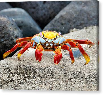 Sally Lightfoot Crab Canvas Print by William Beuther