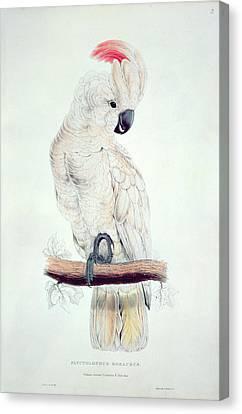 Cockatoo Canvas Print - Salmon Crested Cockatoo by Edward Lear