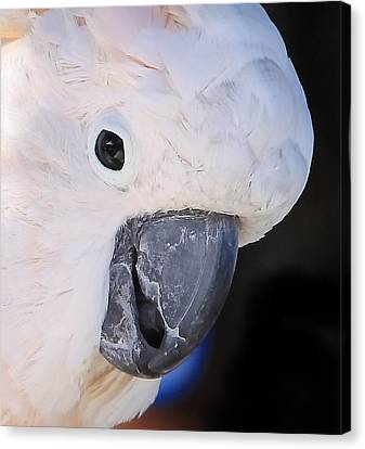 Salmon Crested Cockatoo Smiling Close Up Canvas Print by  Andrea Lazar