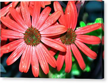 Salmon Daisy Canvas Print by Aimee L Maher Photography and Art Visit ALMGallerydotcom