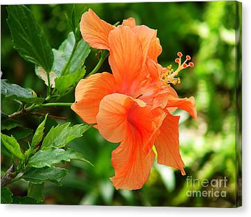 Salmon Hibiscus Canvas Print by Lew Davis
