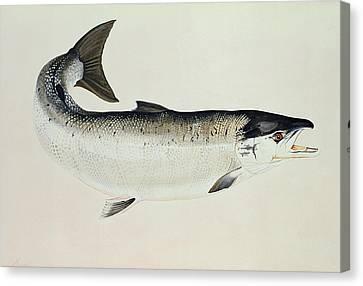 Salmon Canvas Print by Jeanne Maze