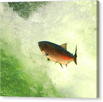Salmon Run 1 Canvas Print by Mamie Gunning