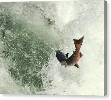 Salmon Run 2 Canvas Print by Mamie Gunning