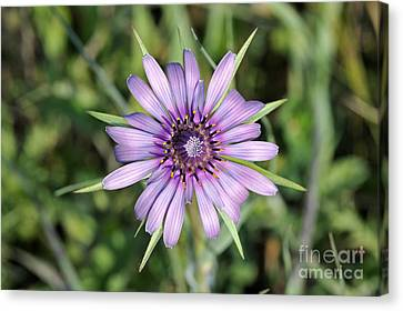 Salsify Flower Canvas Print by George Atsametakis