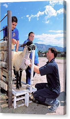 Sampling Sheep For Scrapie Test Canvas Print by Stephen Ausmus/us Department Of Agriculture
