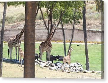 San Diego Zoo - 1212296 Canvas Print by DC Photographer