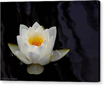 San Francisco Water Lily Canvas Print by Bruce Lundgren