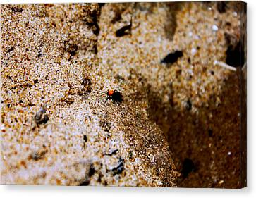 Sand Critter Canvas Print by Sheryl Burns
