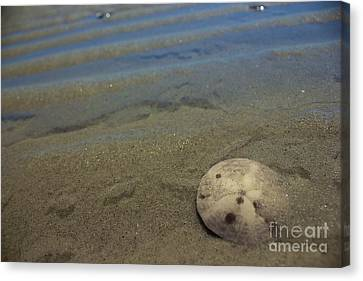Sand Dollar Findings Canvas Print by Amazing Jules