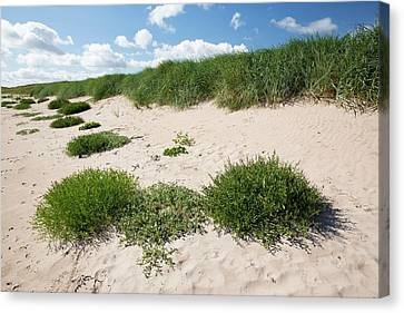 Sand Dunes At Beadnell Bay Canvas Print by Ashley Cooper