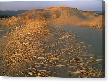 Sand Dunes Covered With Beach Grass Canvas Print by Norbert Rosing