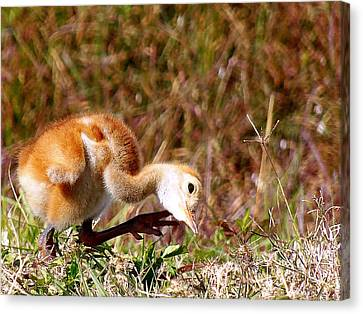 Canvas Print featuring the photograph Sand-hill Chick Scratching  by Chris Mercer