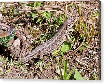 Sand Lizards Courting Canvas Print by Bob Gibbons