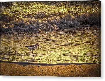 Sand Piper Canvas Print