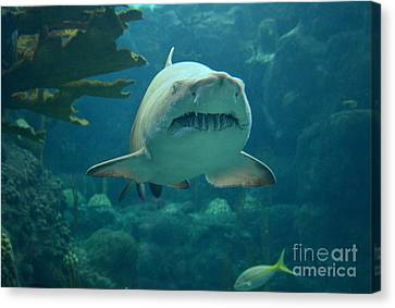 Canvas Print featuring the photograph Sand Shark by Robert Meanor