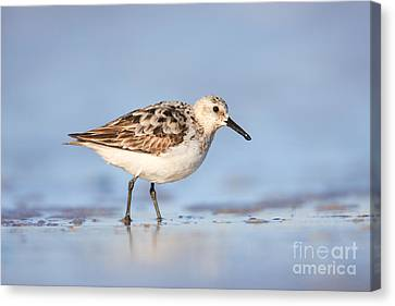 Sanderling Canvas Print by Clarence Holmes