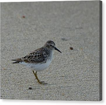 Brian Rock Canvas Print - Sanderling No 2 by Brian Rock
