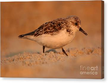 Canvas Print featuring the photograph Sanderling Sunrise by John F Tsumas