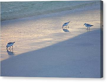 Sanderlings At Dusk I  Canvas Print by Steven Ainsworth