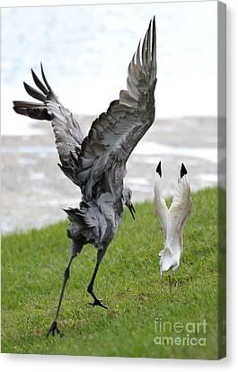 Sandhill Chasing Ibis Canvas Print by Carol Groenen