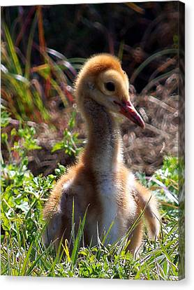 Canvas Print featuring the photograph Sandhill Chick 009 by Chris Mercer
