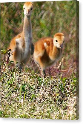 Canvas Print featuring the photograph Sandhill Chicks by Chris Mercer