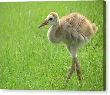 Sandhill Crane Chick Following Parents Canvas Print by Zina Stromberg