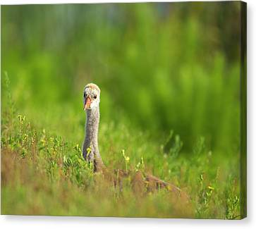Sandhill Crane Chick Resting In Grass Canvas Print by Maresa Pryor