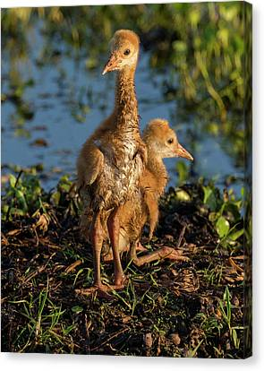 Sandhill Crane Colts On Nest, Grus Canvas Print by Maresa Pryor