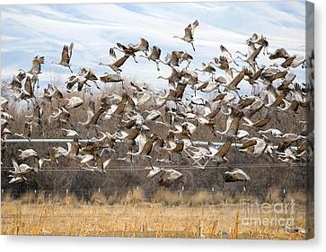 Sandhill Crane Explosion Canvas Print by Mike Dawson