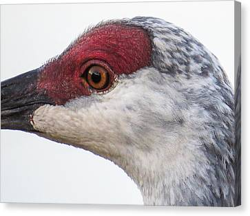 Sandhill Crane Eye Canvas Print by Zina Stromberg