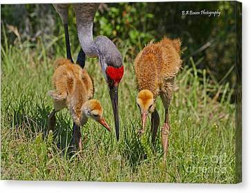 Sandhill Crane Family Feeding Canvas Print