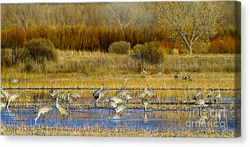 Sandhill Flock In Fall Canvas Print