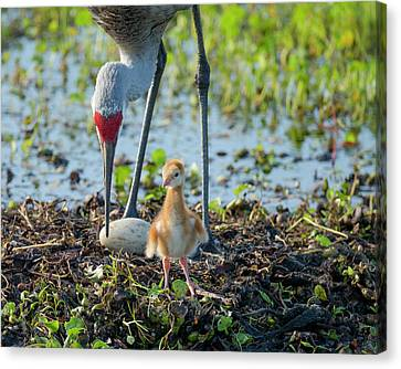 Sandhill Crane Inspecting Second Egg Canvas Print by Maresa Pryor