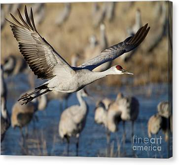 Sandhill Crane Lift Off Canvas Print by Sabrina L Ryan