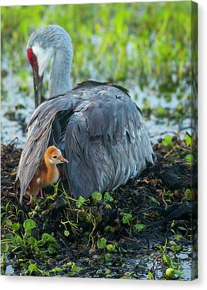 Sandhill Crane On Nest With Colt Canvas Print by Maresa Pryor