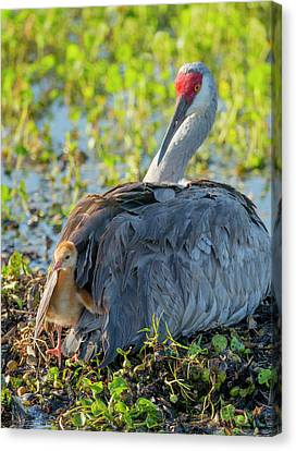Sandhill Crane On Nest With One Day Old Canvas Print by Maresa Pryor