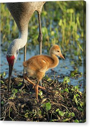 Sandhill Crane With Both Colt On Nest Canvas Print by Maresa Pryor