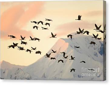 Sandhill Cranes And Mt Denali At Sunrise Canvas Print by Yva Momatiuk John Eastcott