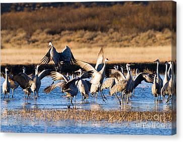 Cranes Dance For Joy Canvas Print