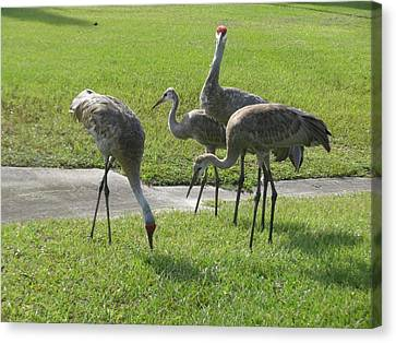 Sandhill Cranes Family Canvas Print by Zina Stromberg