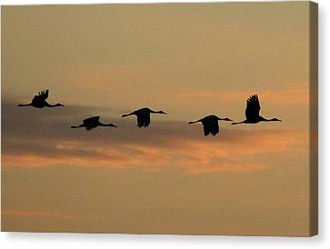 Sandhill Cranes Over Horicon Marsh Canvas Print